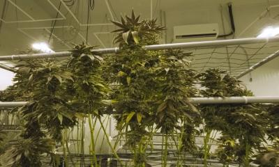 What You Need To Know About Growing Cannabis Hydroponically