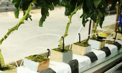 The Value of Drip Irrigation in a Hydroponic System