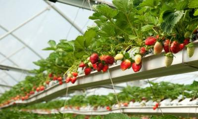 Which Fruits Are Best Grown in Hydroponics?