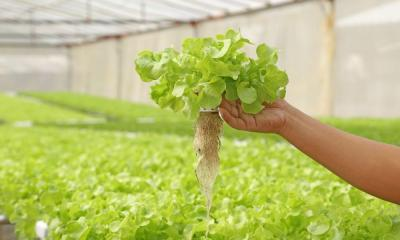 Plant Diseases To Watch Out for in Hydroponic Gardening