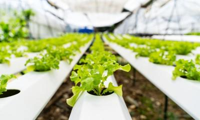 Symptoms of Nutrient Deficiency and Toxicity in Hydroponics
