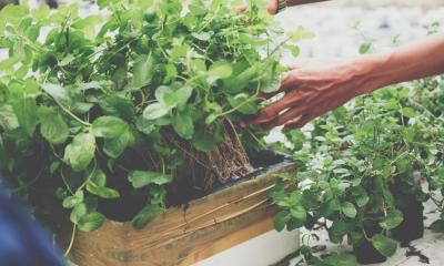 How To Save Your Hydroponic Garden From Root Rot